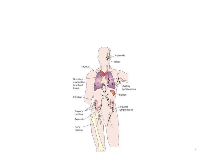 Central and peripheral lymphoid organs