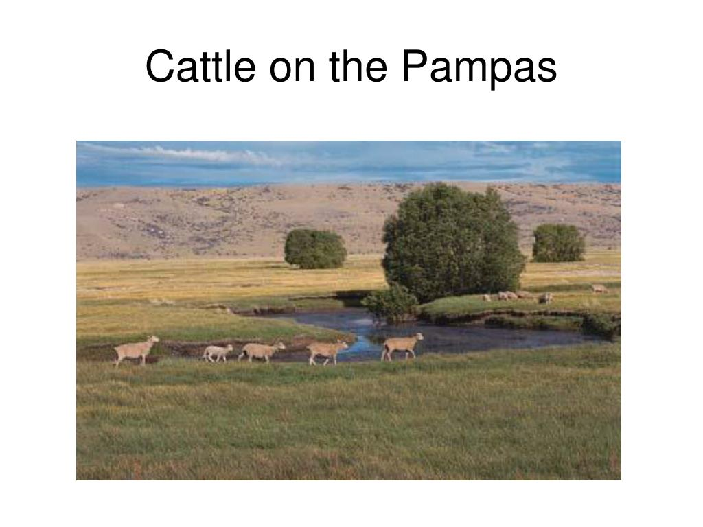 Cattle on the Pampas