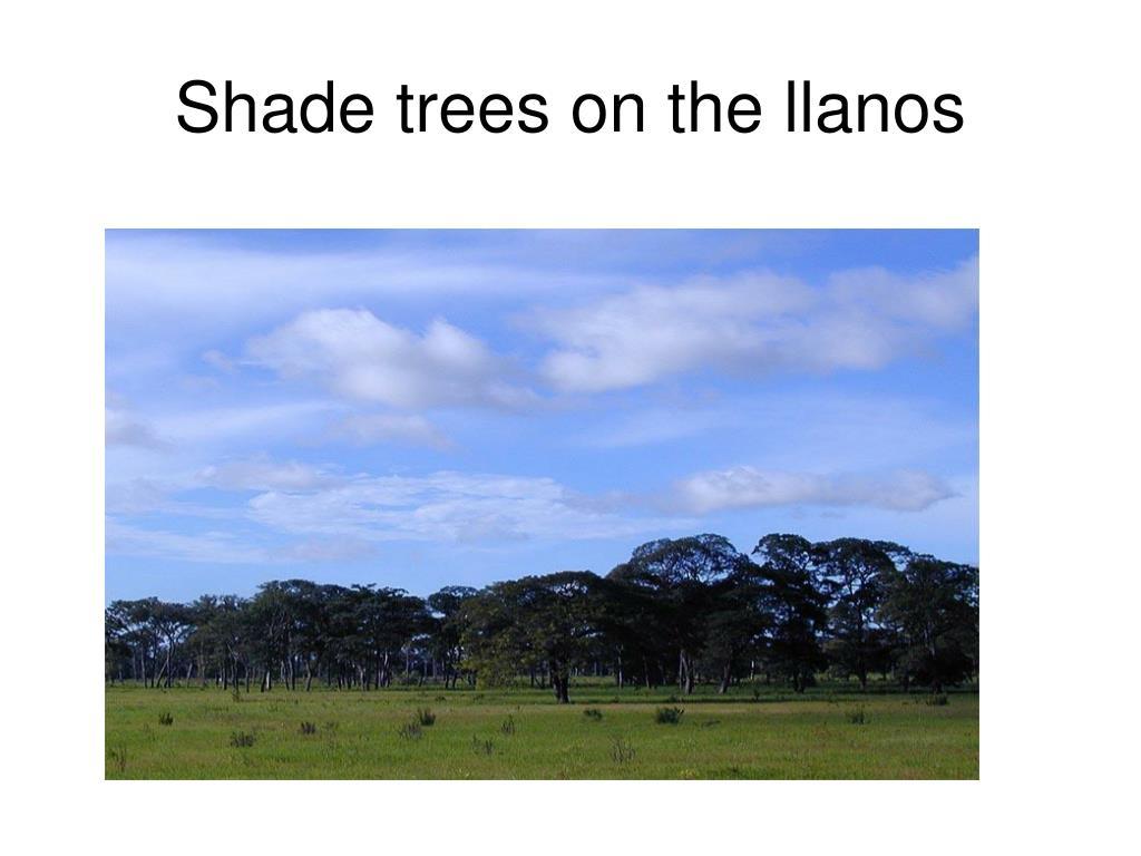 Shade trees on the llanos