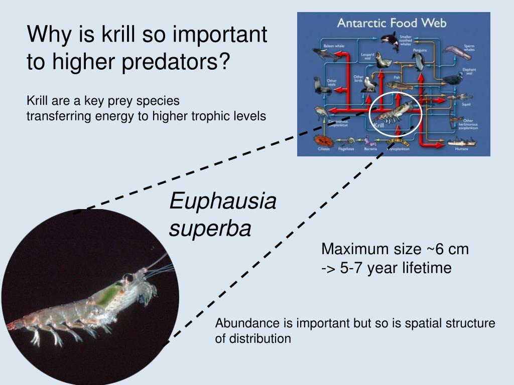 Why is krill so important to higher predators?