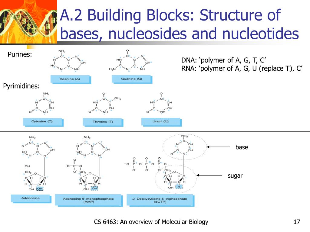 A.2 Building Blocks: Structure of bases, nucleosides and nucleotides