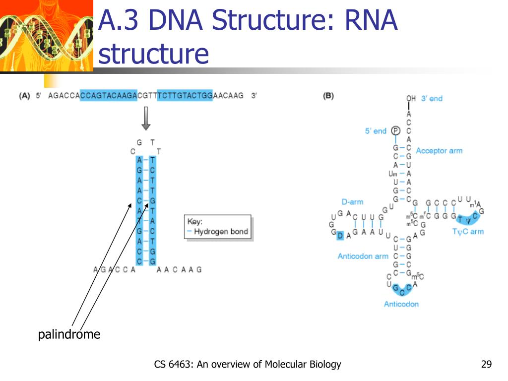 A.3 DNA Structure: RNA structure