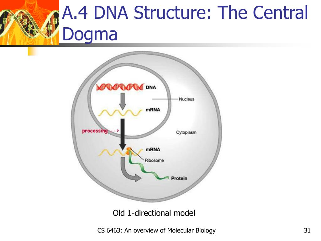 A.4 DNA Structure: The Central Dogma