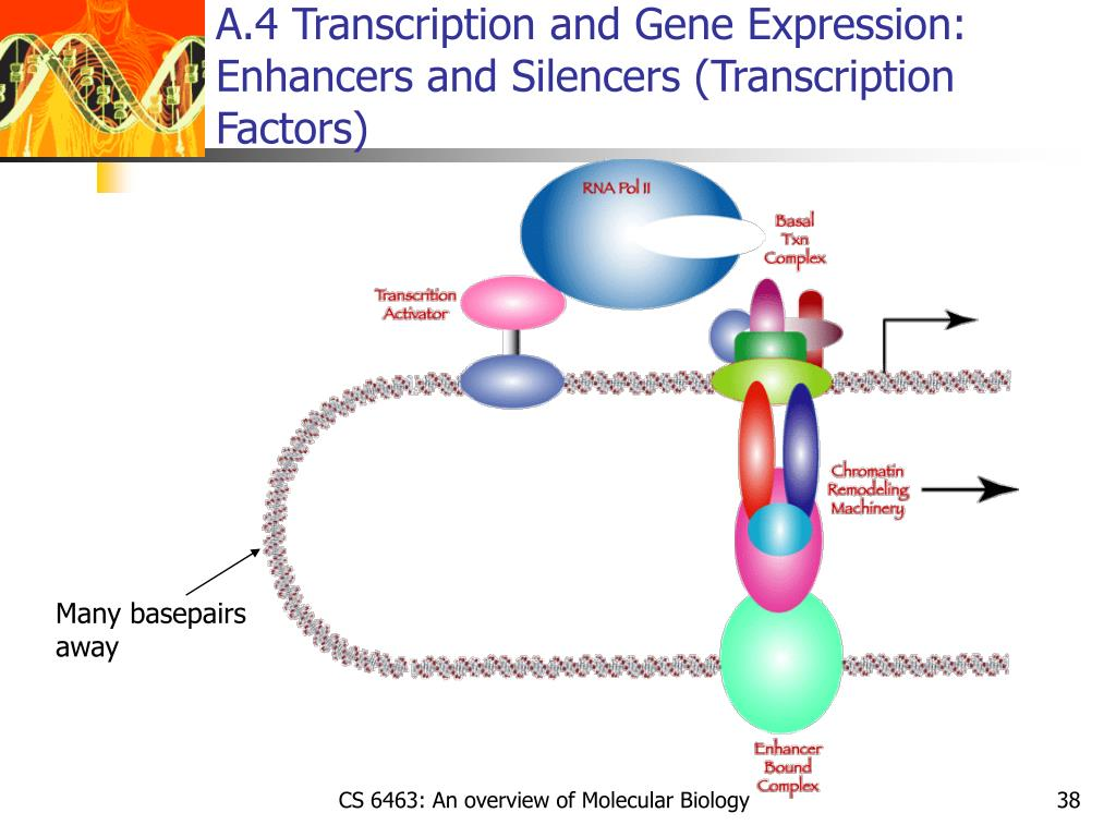 A.4 Transcription and Gene Expression: Enhancers and Silencers (Transcription Factors)