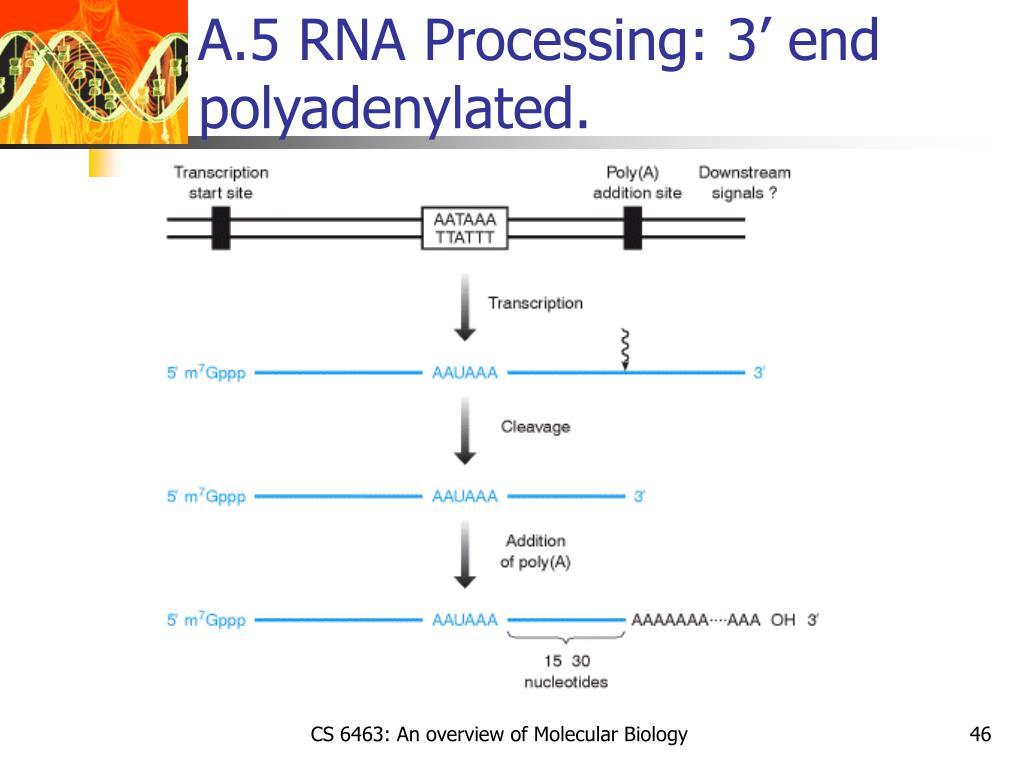 A.5 RNA Processing: 3' end polyadenylated.