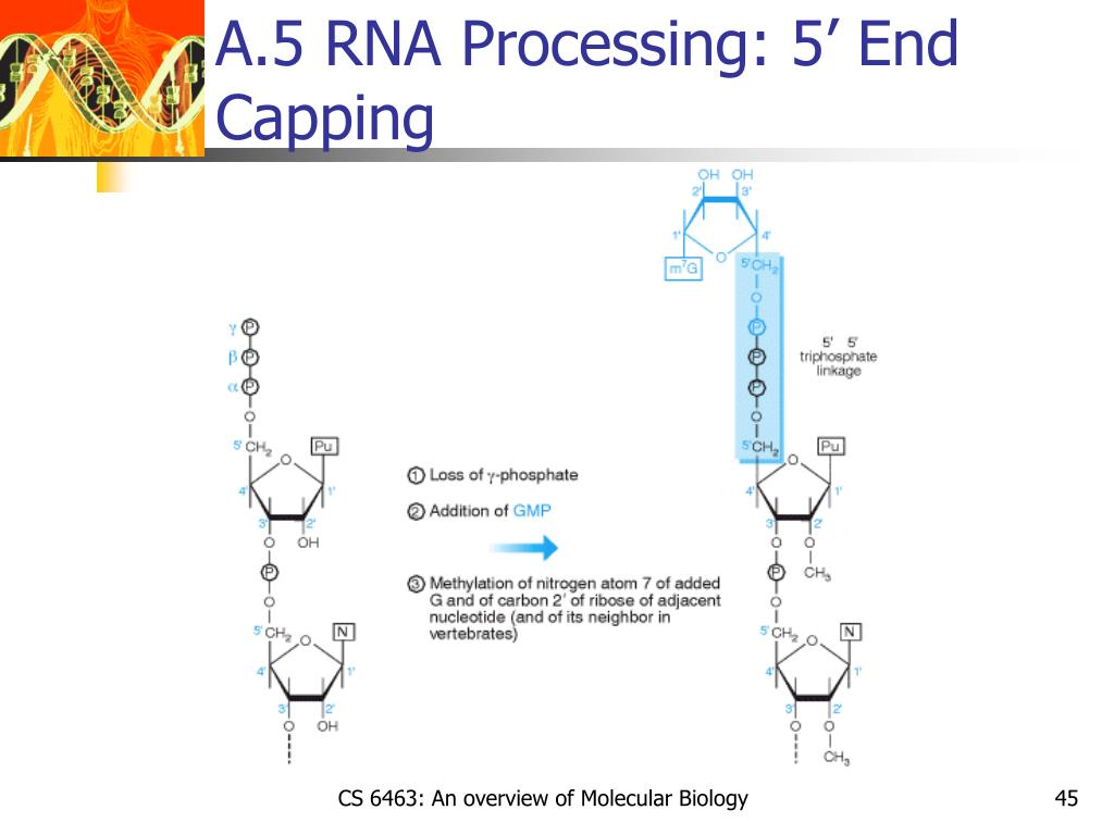 A.5 RNA Processing: 5' End Capping
