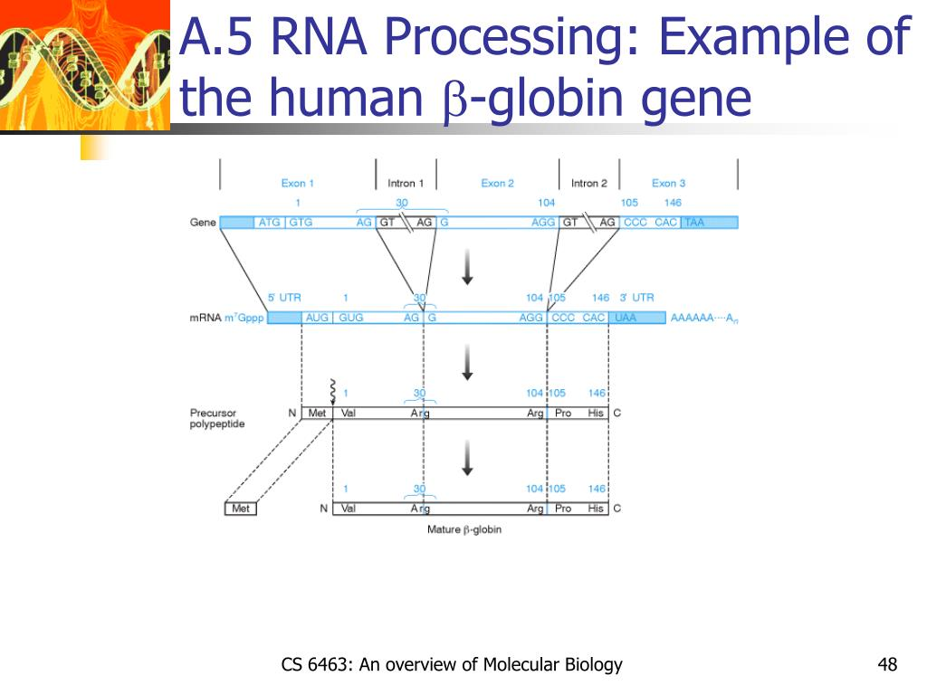 A.5 RNA Processing: Example of the human