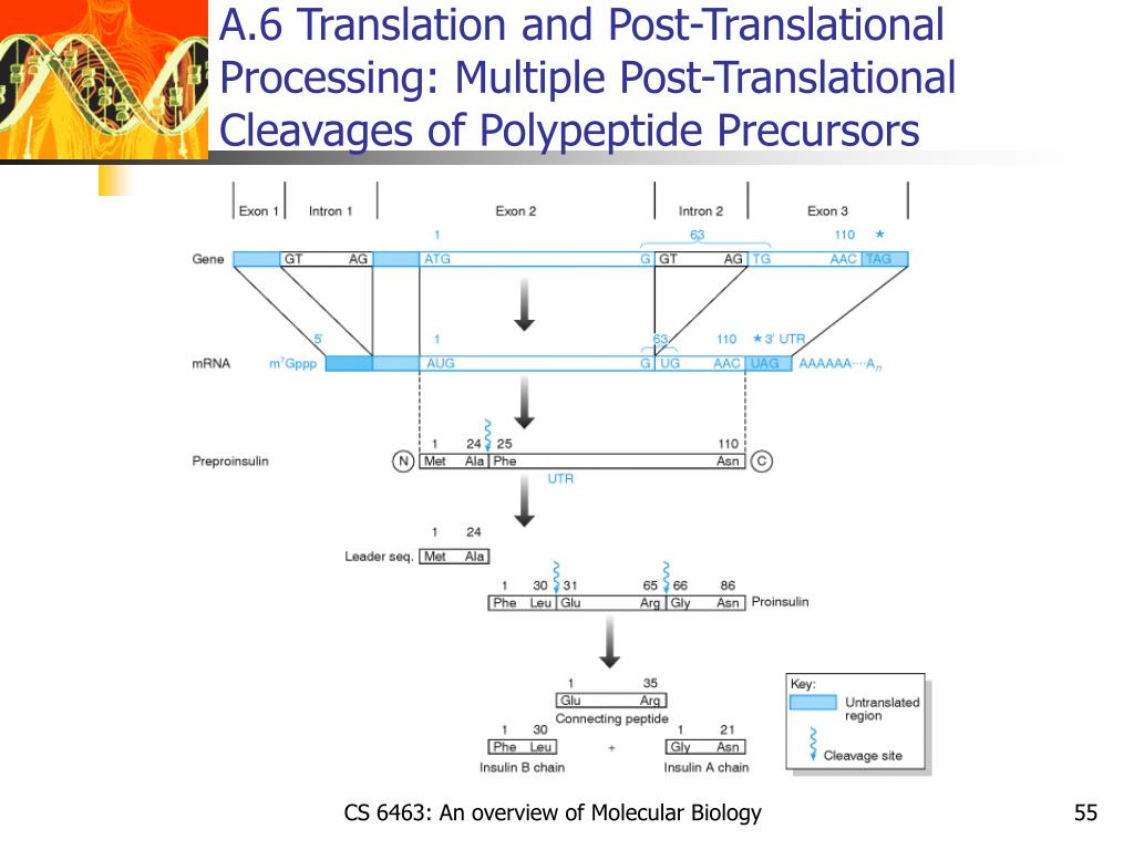 A.6 Translation and Post-Translational Processing: Multiple Post-Translational Cleavages of Polypeptide Precursors