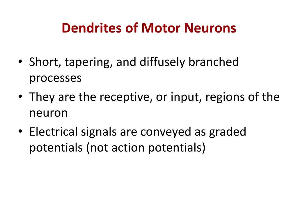 Dendrites of Motor Neurons