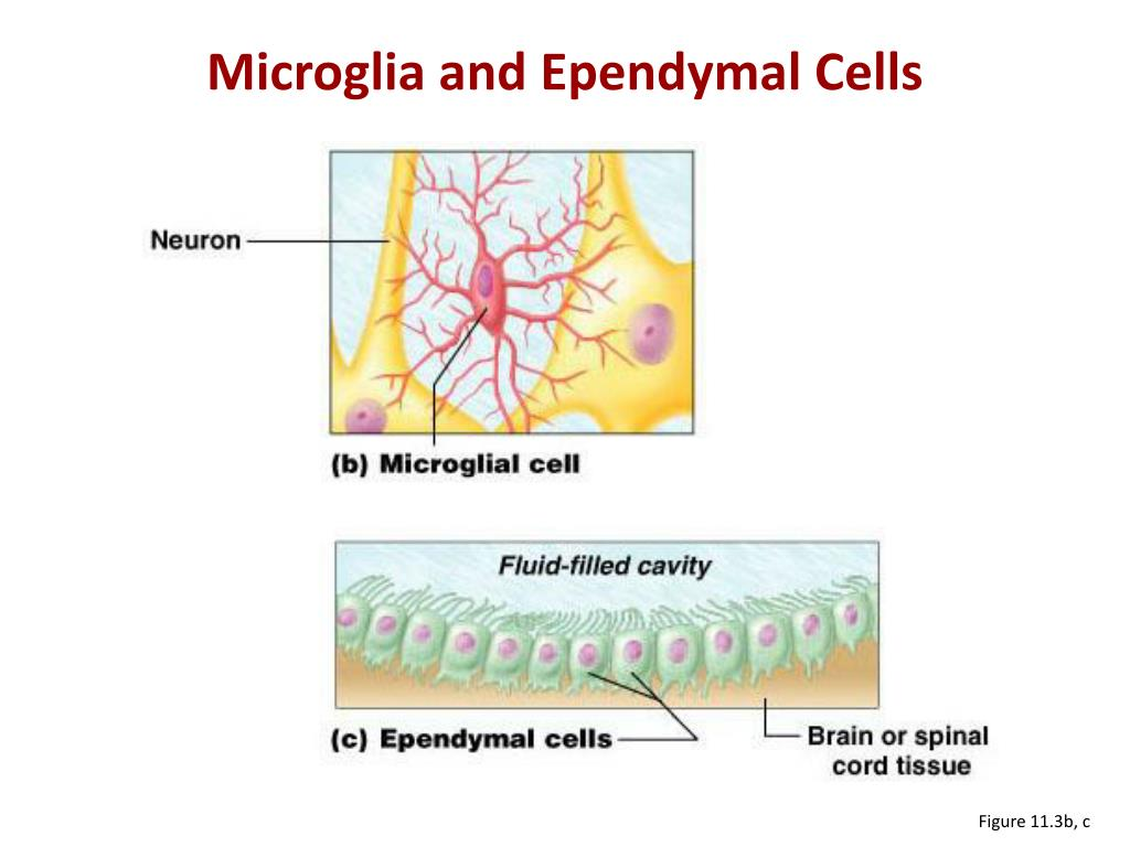 Microglia and
