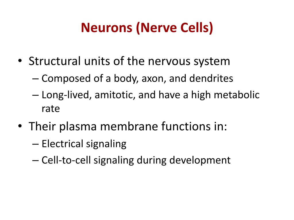 Neurons (Nerve Cells)