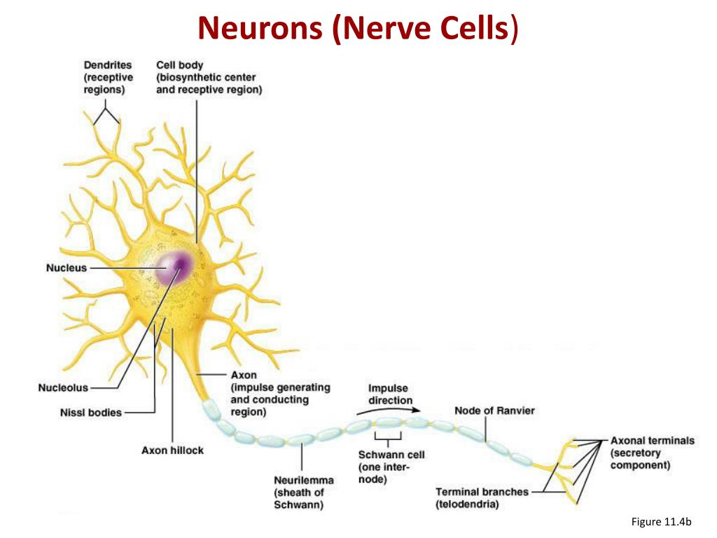 Neurons (Nerve Cells