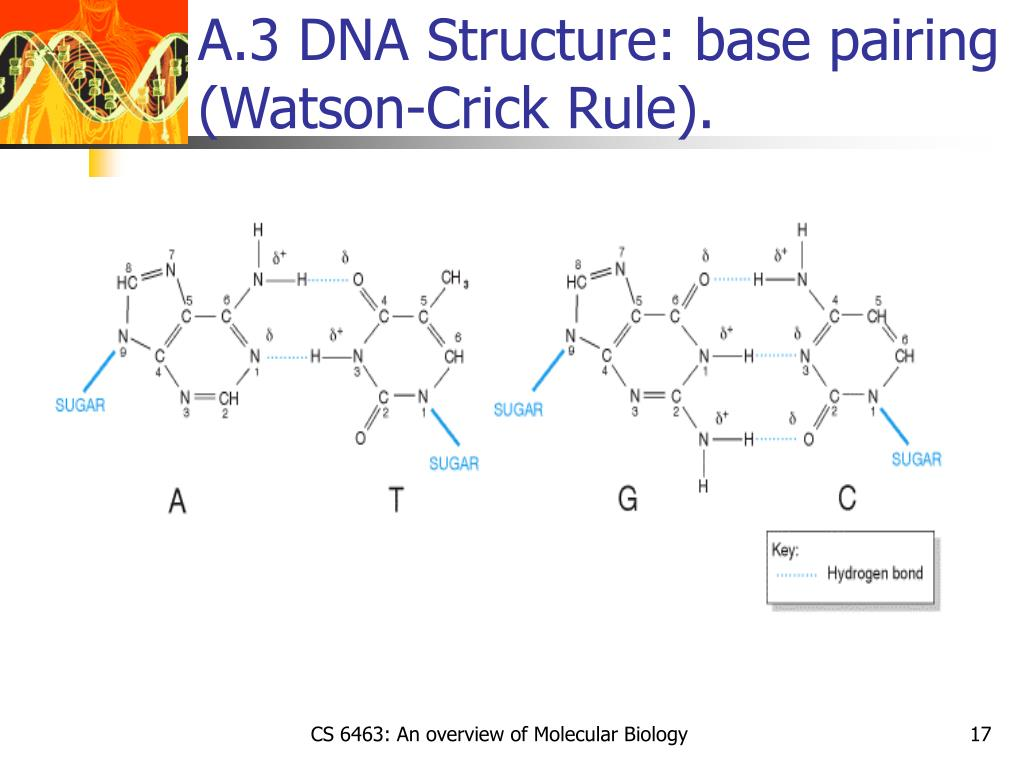 A.3 DNA Structure: base pairing (Watson-Crick Rule).