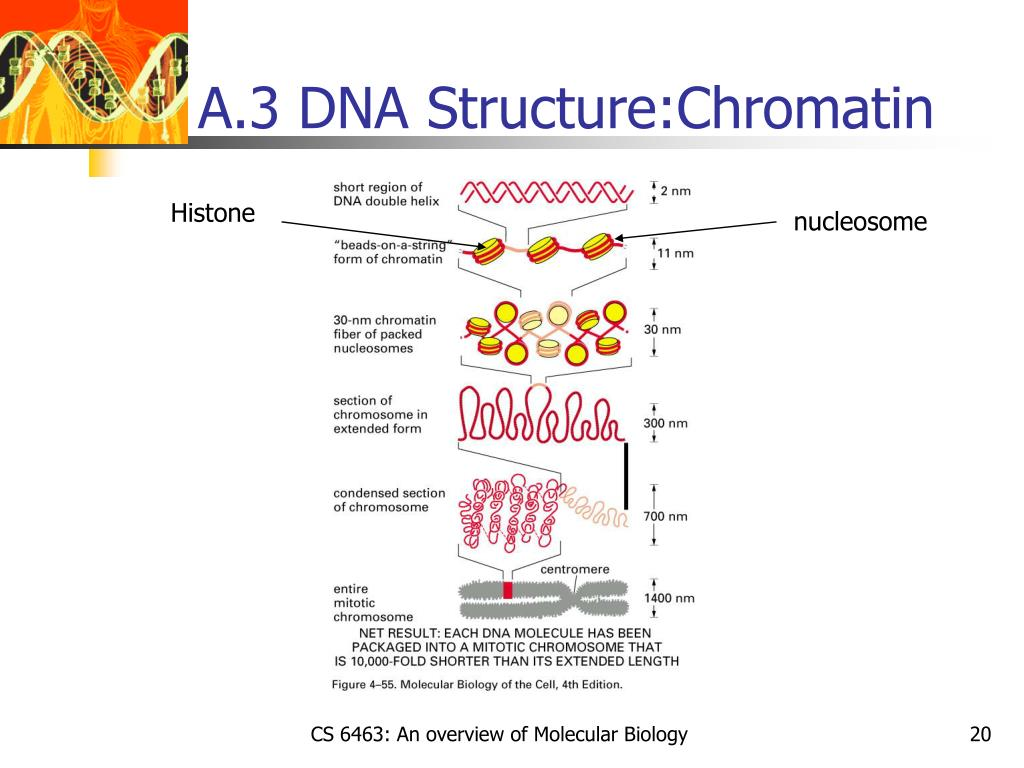 A.3 DNA Structure:Chromatin
