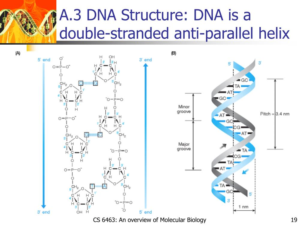 A.3 DNA Structure: DNA is a double-stranded anti-parallel helix