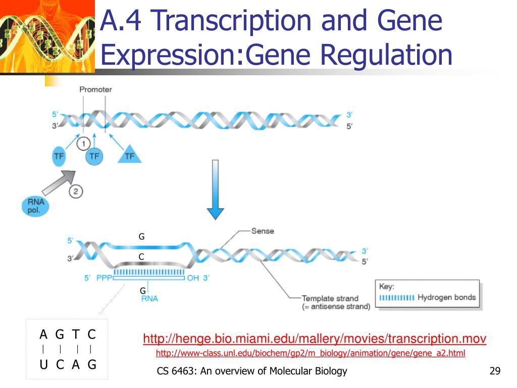A.4 Transcription and Gene Expression:Gene Regulation