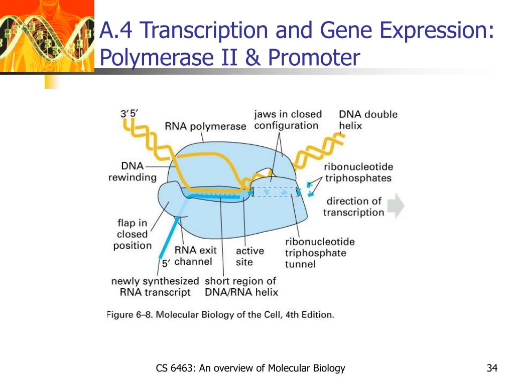 A.4 Transcription and Gene Expression: Polymerase II & Promoter