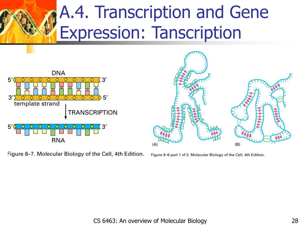 A.4. Transcription and Gene Expression: Tanscription