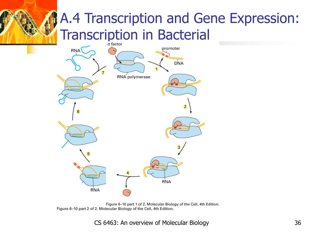 A.4 Transcription and Gene Expression: Transcription in Bacterial