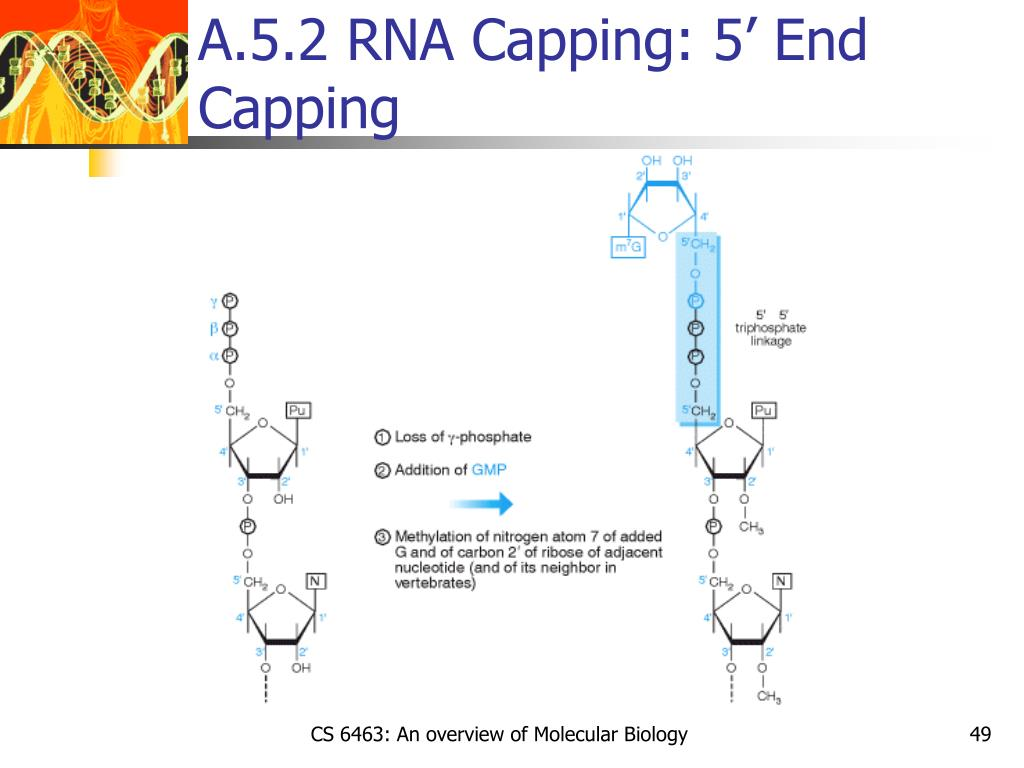 A.5.2 RNA Capping: 5' End Capping