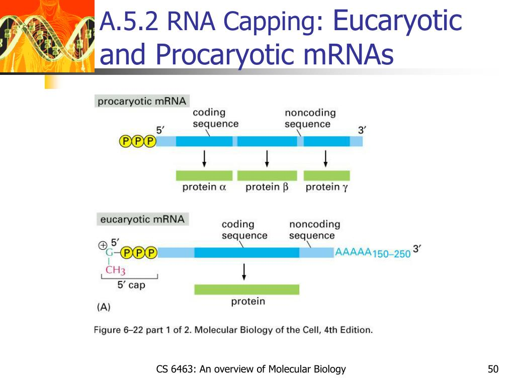 A.5.2 RNA Capping:
