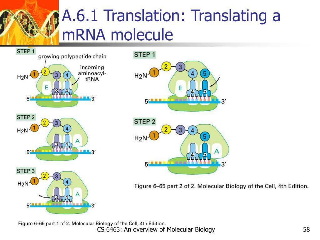 A.6.1 Translation: Translating a mRNA molecule