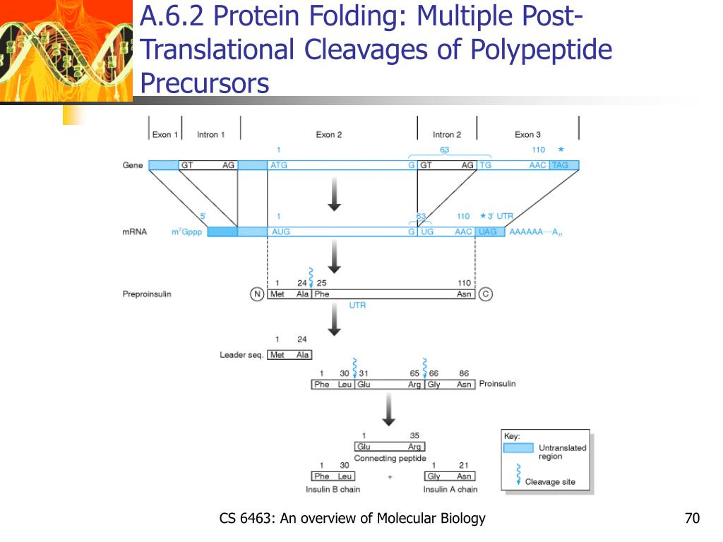 A.6.2 Protein Folding: Multiple Post-Translational Cleavages of Polypeptide Precursors