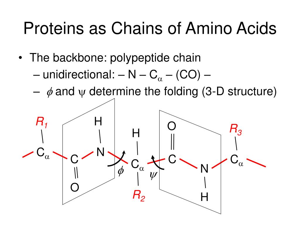 Proteins as Chains of Amino Acids