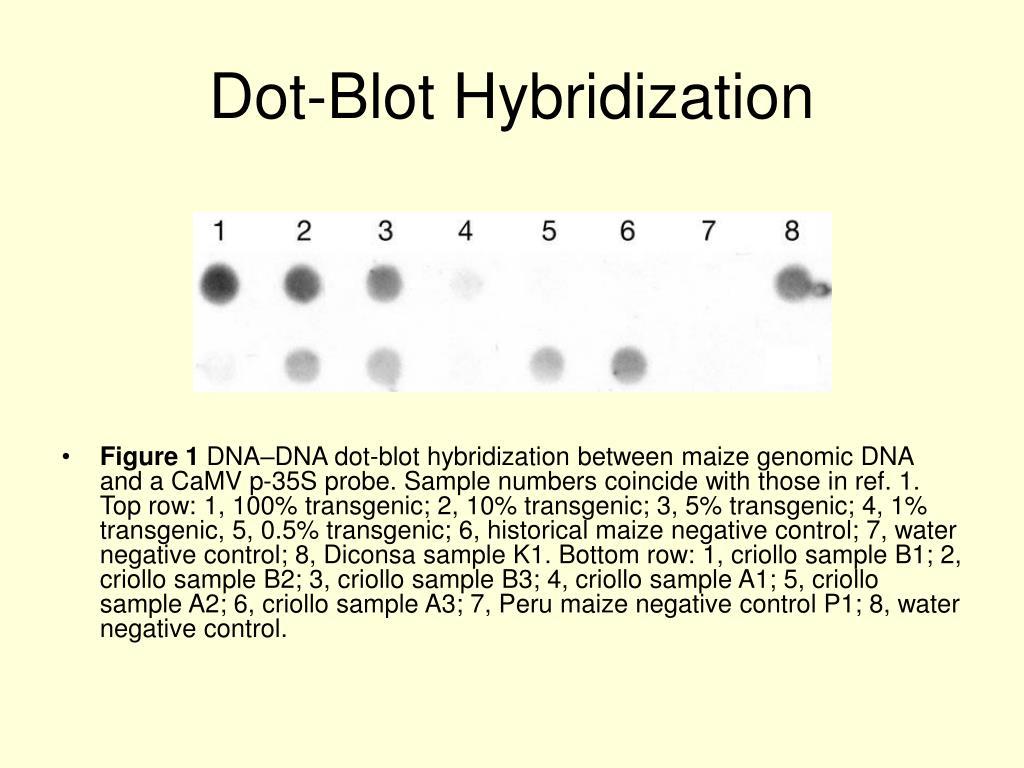Dot-Blot Hybridization