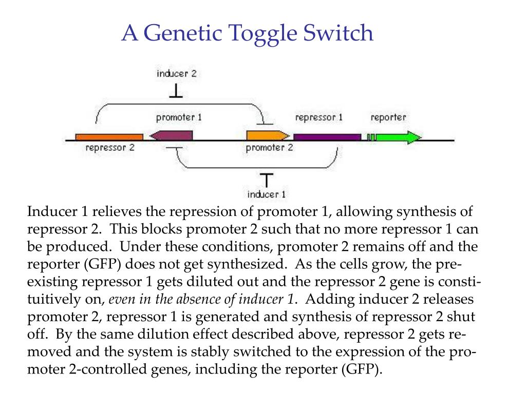 A Genetic Toggle Switch