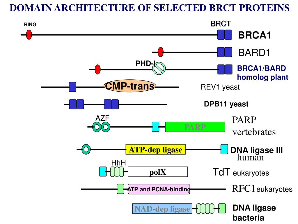 DOMAIN ARCHITECTURE OF SELECTED BRCT PROTEINS