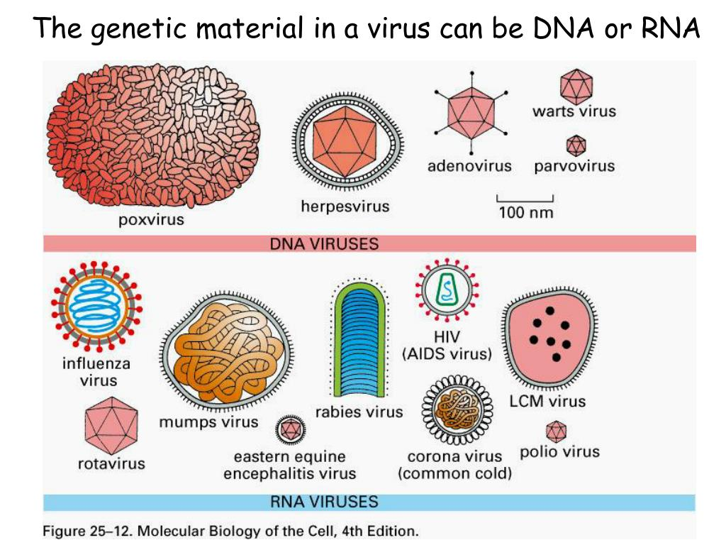 The genetic material in a virus can be DNA or RNA
