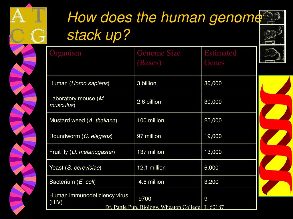 How does the human genome stack up?