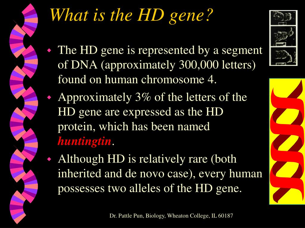 What is the HD gene?