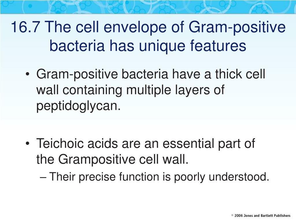 16.7 The cell envelope of Gram-positive bacteria has unique features