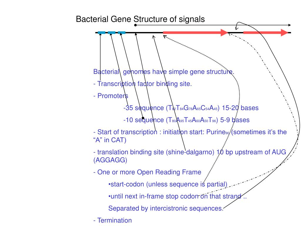 Bacterial Gene Structure