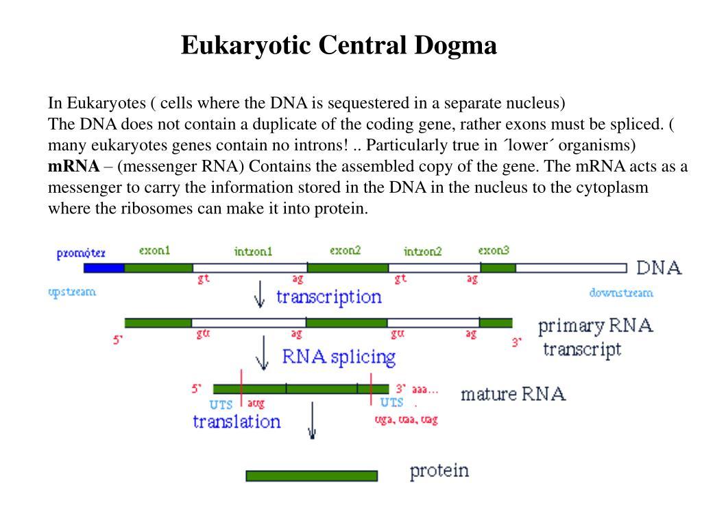 Eukaryotic Central Dogma