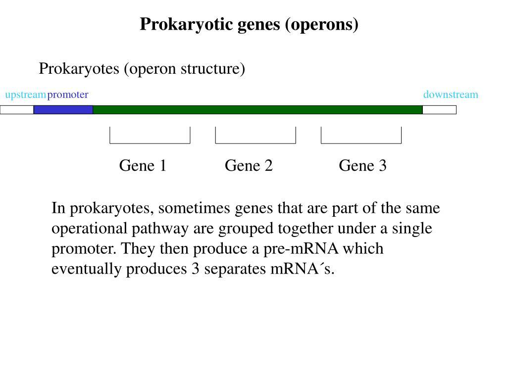 Prokaryotic genes (operons)