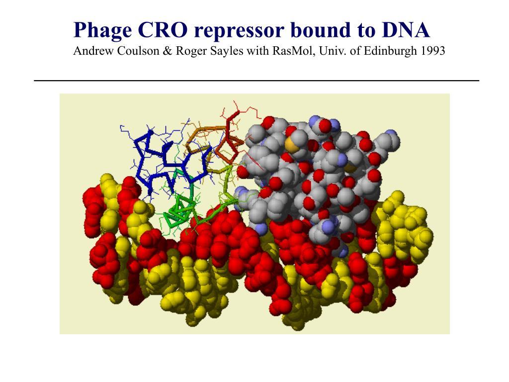 Phage CRO repressor bound to DNA