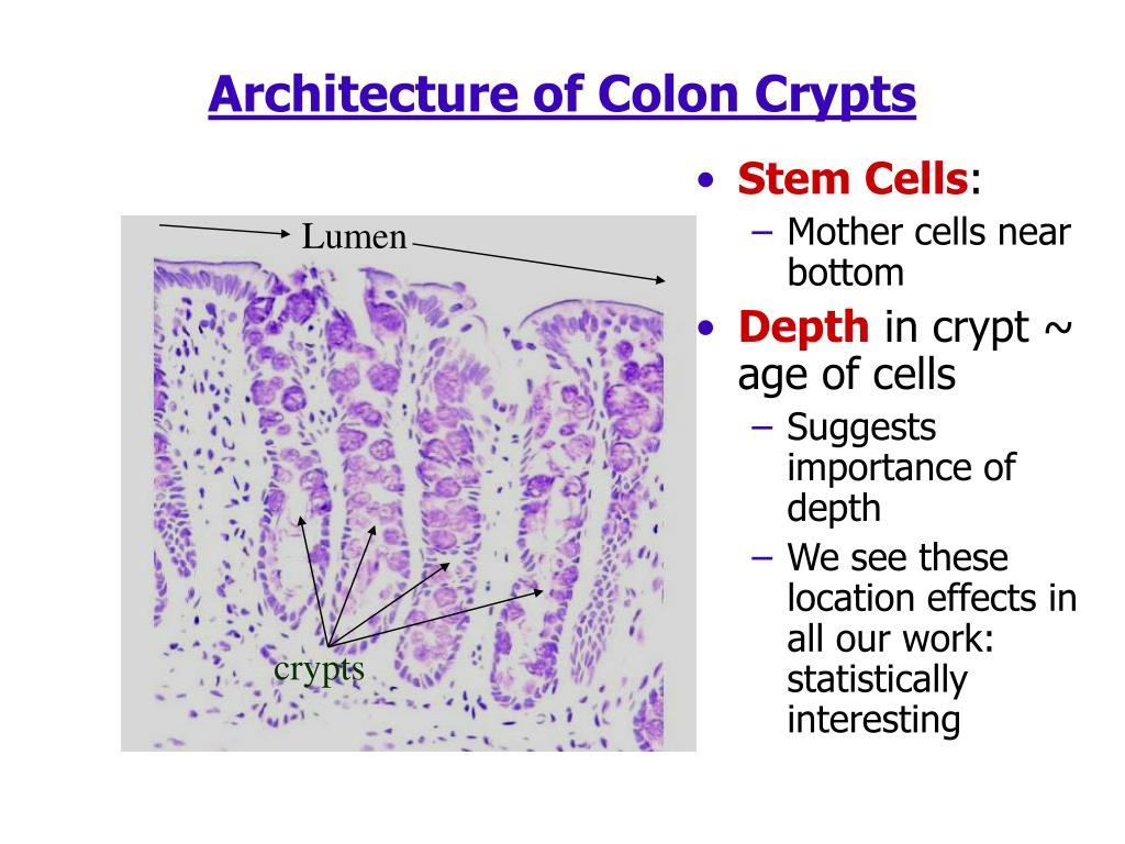 Architecture of Colon Crypts