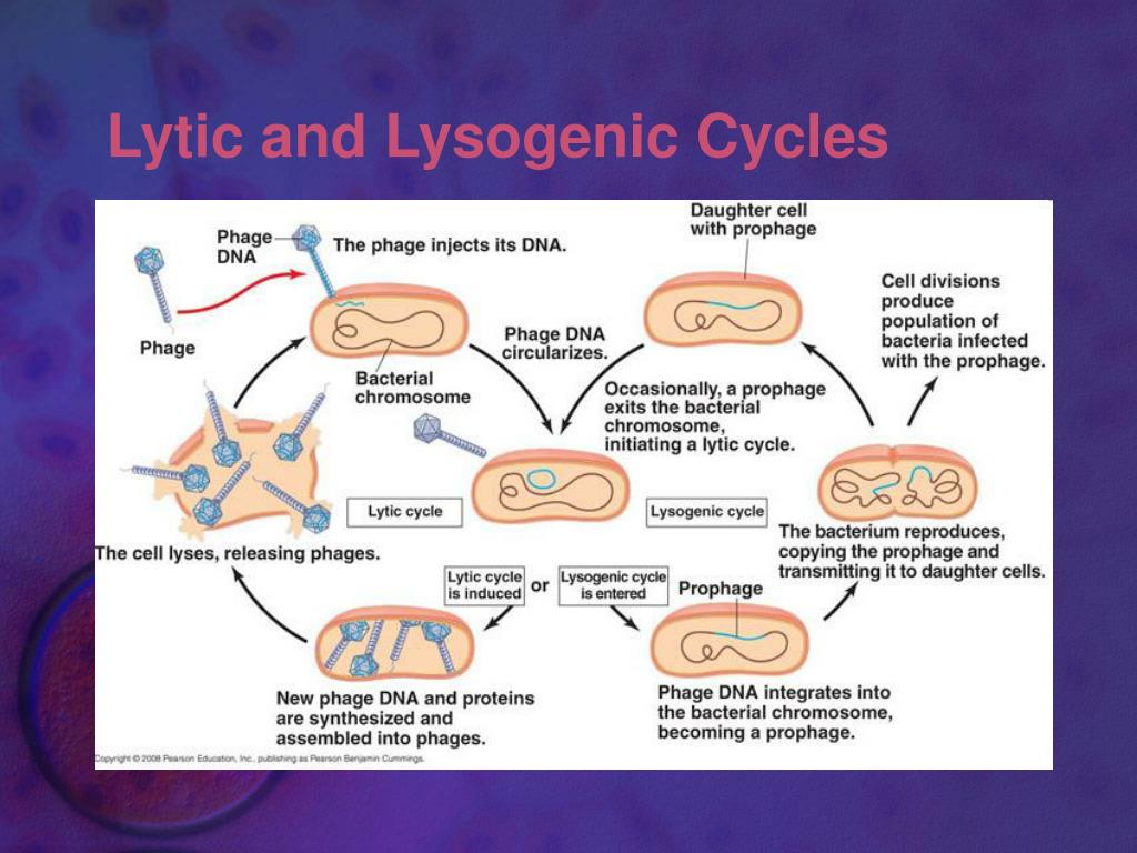 Lytic and Lysogenic Cycles