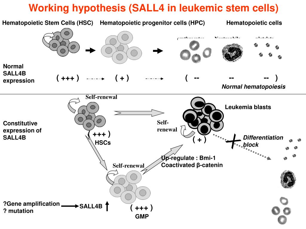 Working hypothesis (SALL4 in leukemic stem cells)