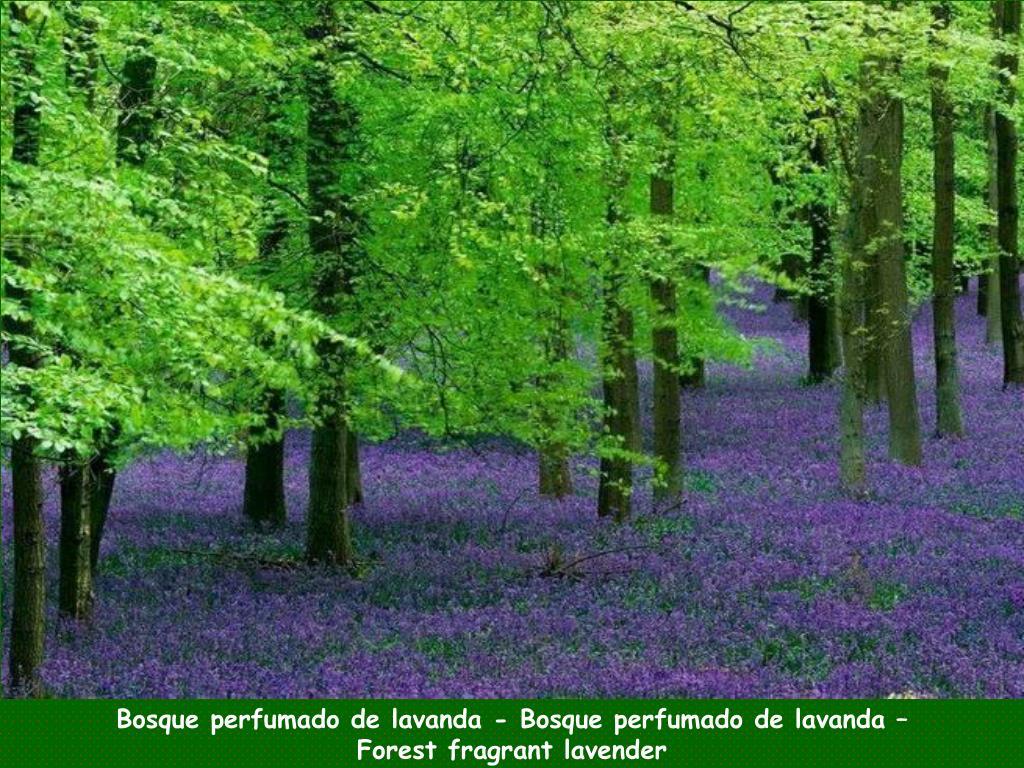 Bosque perfumado de lavanda - Bosque perfumado de lavanda –