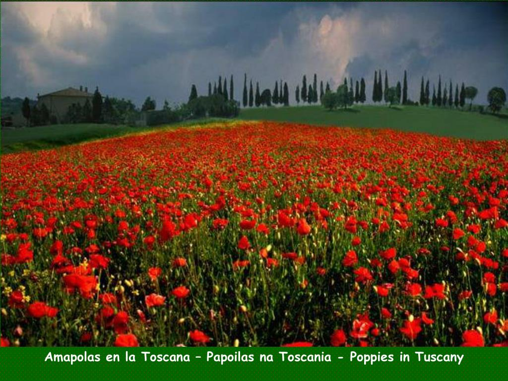 Amapolas en la Toscana – Papoilas na Toscania - Poppies in Tuscany