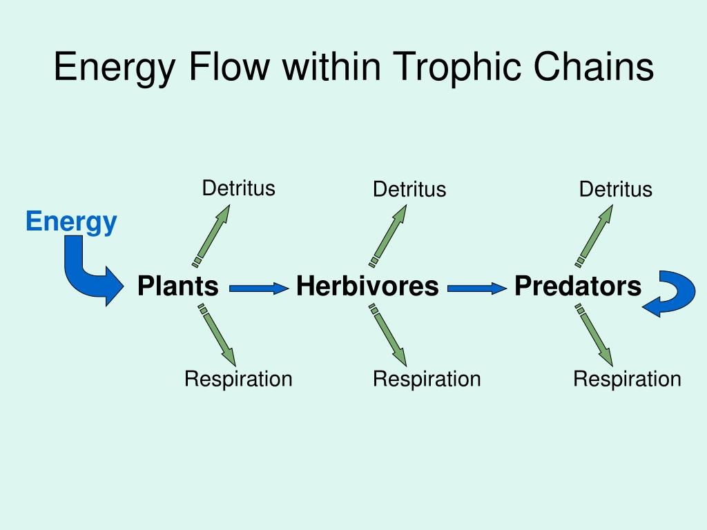 Energy Flow within Trophic Chains