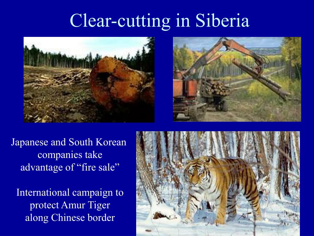 Clear-cutting in Siberia