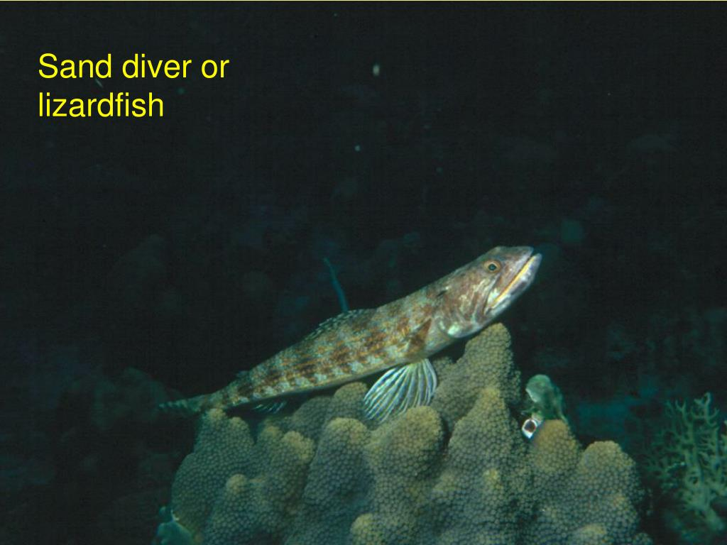 Sand diver or lizardfish