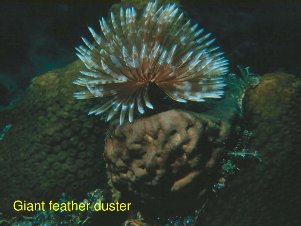 Giant feather duster