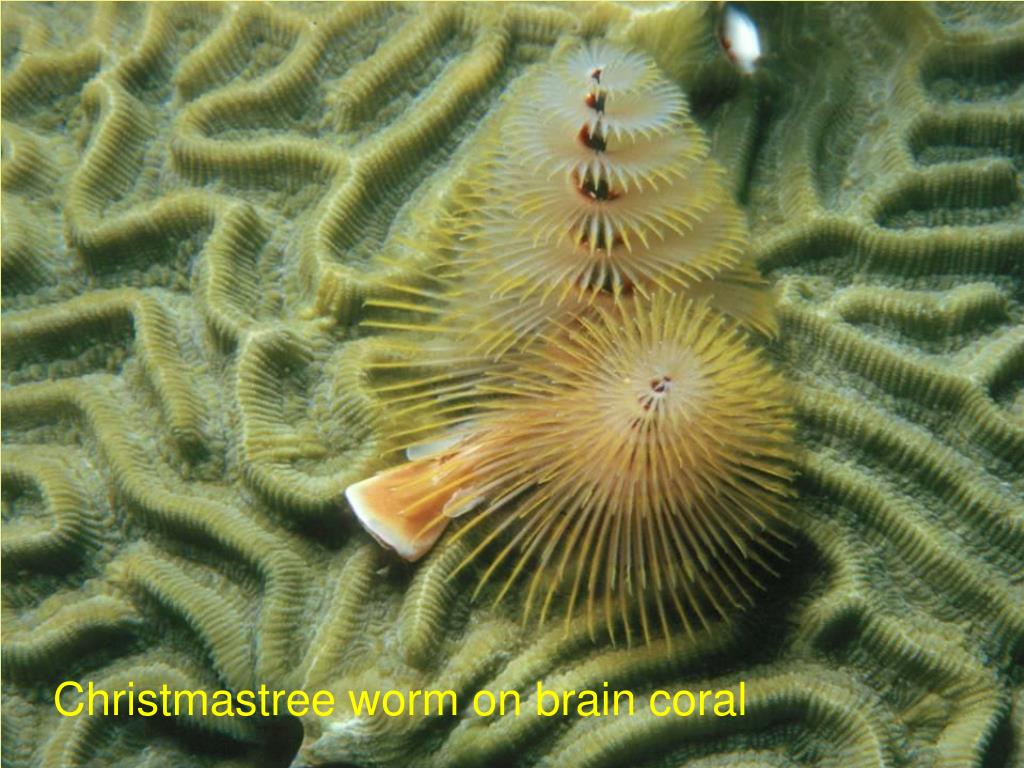 Christmastree worm on brain coral