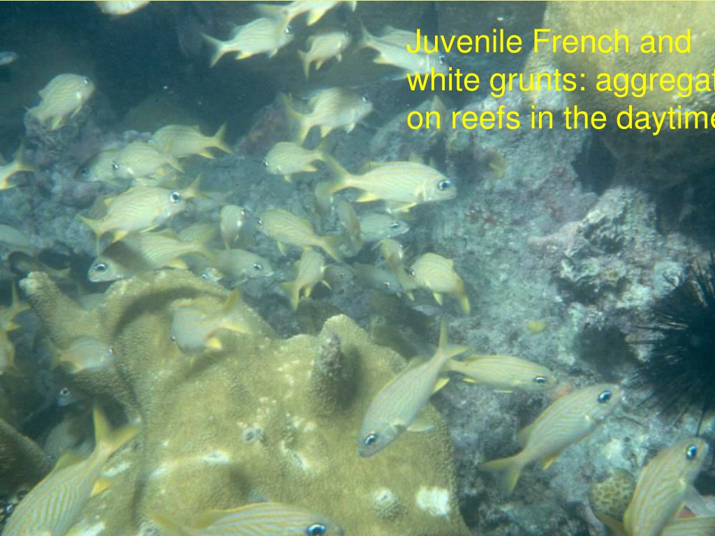 Juvenile French and white grunts: aggregate on reefs in the daytime